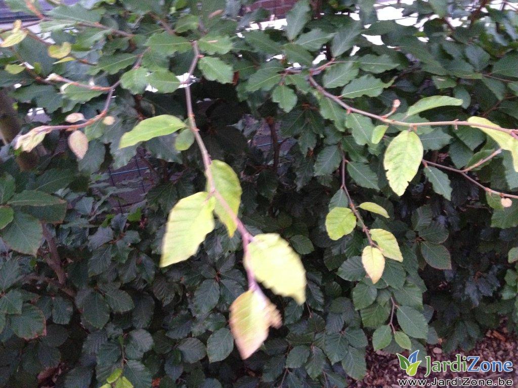 Feuilles de h tre qui jaunissent jardizone - Feuilles de rosier qui jaunissent ...