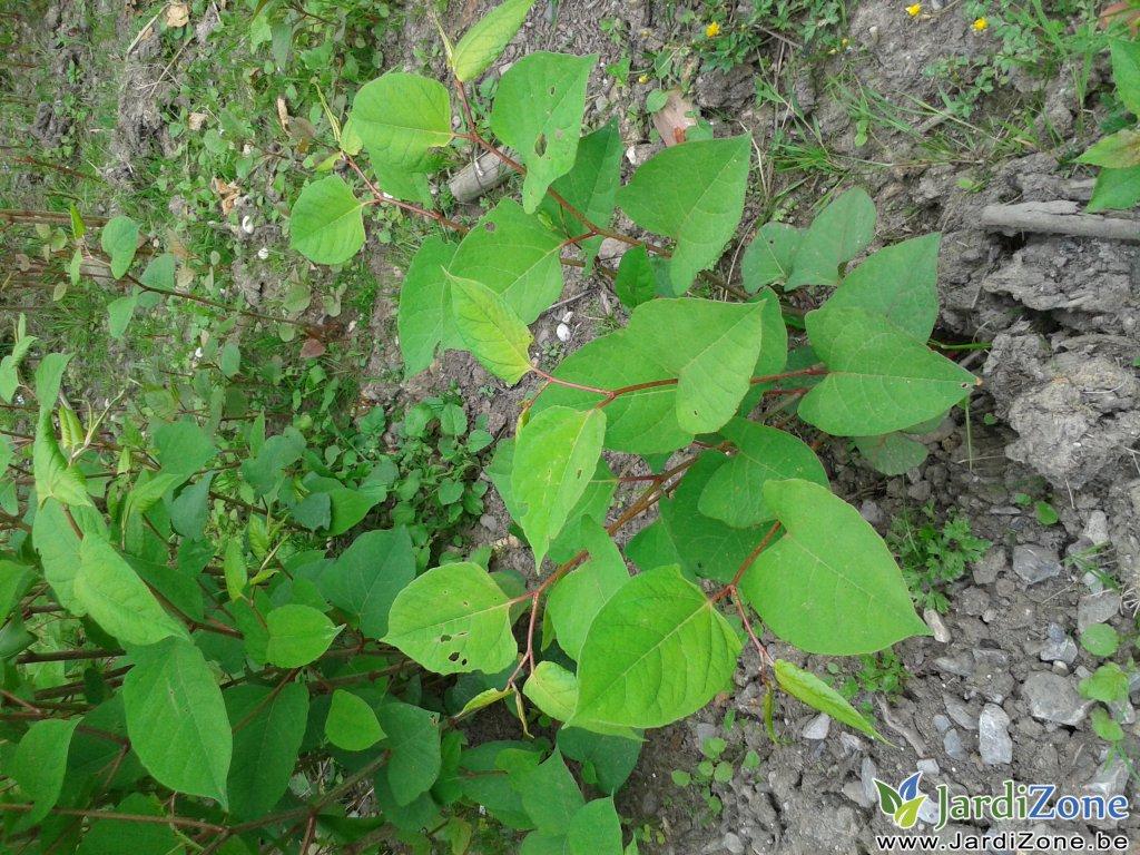 Quelle est cette plante renou e japon jardizone for Plante japonaise