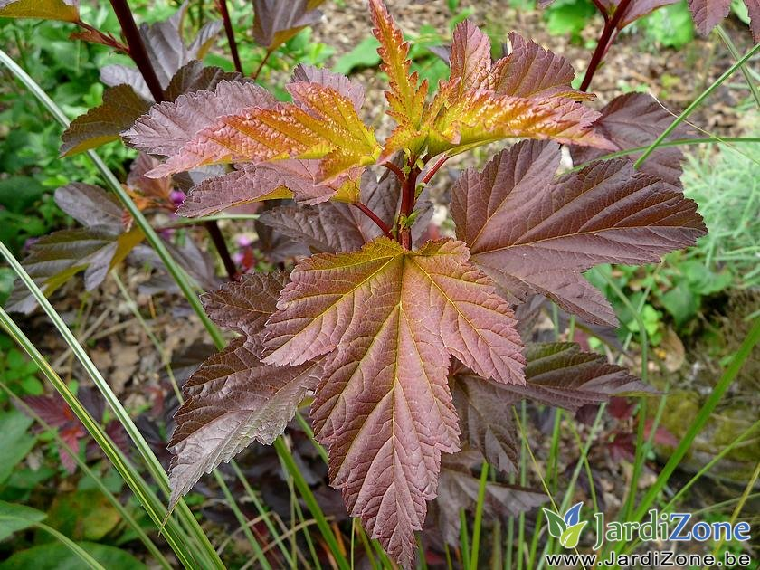 Physocarpus-Diable-d-Or-22062008.jpg