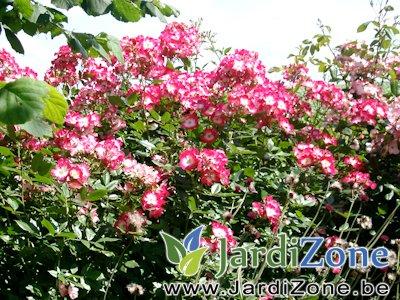 Rosa-Bukavu-2.jpg